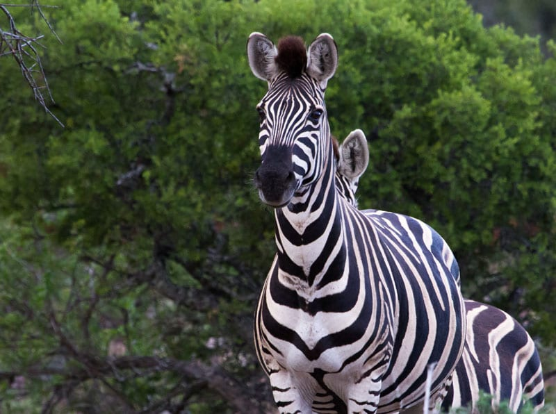 African Hunting - Beautiful image of a Zebra