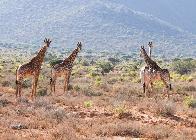 African Hunting - Game - A herd of giraffes on the Karoo plain.