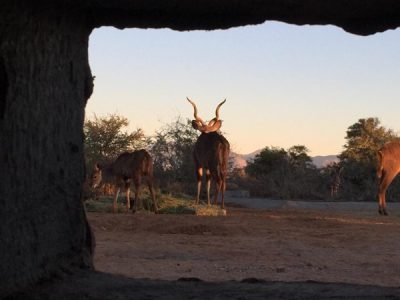 African Hunting - Bow Blinds - View of Kudu from within bow blind.